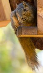 Snack time (suzeesusie) Tags: squirrel foxsquirrel furry outdoors california losangeles tree feeder squirrelfeeder eating nuts bokeh nature animal wildlife wildanimals natve canon7d canon raw