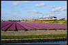 NSR-2972_Hil_23042017 (Dennis Koster) Tags: ns nsr trein personentrein passagierstrein hillegom bollenveld tulpen sgm sgmm 2972