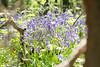 Bois de Halle (raphael.dropsy) Tags: bois halle hallebos jacinthe hyacinthus