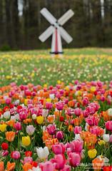 Holland in Haymarket (jcernstphoto) Tags: tulips flowers field windmill haymarket burnsidefarms