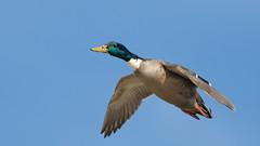 Duck in the Air (Ken Krach Photography) Tags: mallard