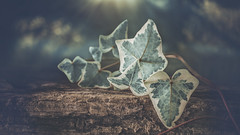Ivi (RoCafe Off for a while) Tags: edge80 edge80macro ivy lensbaby leaves green wood bokeh blur nikond600 stilllife