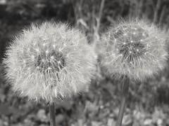 Fireworks in the garden (markwilkins64) Tags: dandelion dandelions flowers plant nature blackandwhite mono monochrome