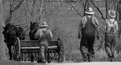 Farmer at work, Kline Creek Farm. 1 (EOS) (Mega-Magpie) Tags: canon eos 60d outdoors farmers work man woman guy gal people horse plow kline creek farm west chicago il dupage illinois usa america bw black white monochrome hat walk