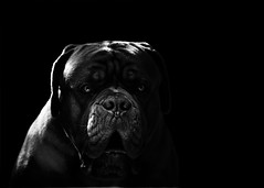 Hellhound (Martin Werge Nissen) Tags: doguedebordeaux maximus animal dog monochrome