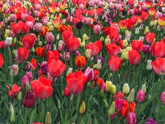Keukenhof - The Netherlands (darrenboyj) Tags: keukenhof flowerbed tulip tulips lots loads holland netherlands attraction spring color colour colourful colorful red event yearly