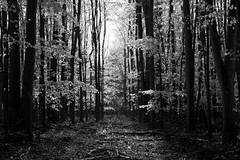 Into the Light (Rich Lukey) Tags: landscape wildwood clandon surrey beech trees tree woods woodland forest england nikon 50mm d7100 black white mono monochrome