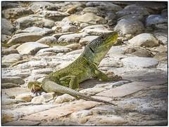 LAGARTO OCELADO (BLAMANTI) Tags: lagartos lagarto ocelado reptiles antiguo prehistorico naturaleza verde verano