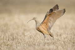 Long-billed Curlew Wing Stretch (Jeff Dyck) Tags: long billed longbilled curlew longbilledcurlew numeniusamericanus princegeorge shelley bc britishcolumbia birds jeffdyck