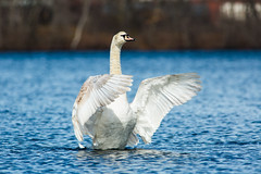 Swan Presentation (brendon_curtis) Tags: canon 5dmkiii eos usm 400mm f56l f56 l lens water sky lake pond river tree trees bird nature natural