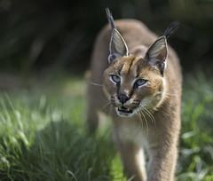 Griffin Caracal (jdl1963) Tags: wildlife heritage foundation big cat sanctuary carnivore endangered feline smarden kent animal griffin caracal