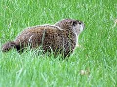 Woodchuck or Ground Hog (Marmota monax) (Lana Pahl / Country Star Images) Tags: ilovenature animalsofourplanet flickrnature nature naturephotography