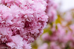 Busy In Pink!! (BGDL) Tags: lightroomcc nikond7000 bgdl niftyfifty odc afsnikkor50mm118g garden tree cherryblossom busybusy