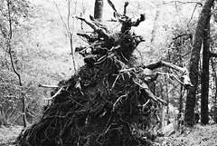 Monstre de terre (gibs02) Tags: argentique monochrome nb racine arbre monstre insolite abstrait nature forêt