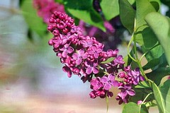 Lilas violet (mamietherese1) Tags: phvalue