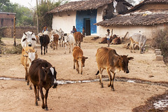 Rural village (wietsej) Tags: rural village cows morning sony a900 sal70200g 70200 kawardha chhattisgarh india