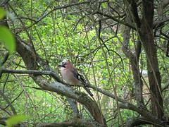 IMG_7237_Fotor01 (Ela's Zeichnungen und Fotografie) Tags: hannover landschaft natur tier vogel eichelhäher baum äste sonnenlicht blätter