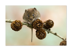 Bank vole (hehaden) Tags: rodent vole bankvole redbackedvole myodesglareolus cones pine millerswood sussex sel90m28g httpwwwjohnstantonphotographycouk