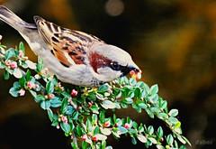 Lunch time (Franco D´Albao) Tags: francodalbao dalbao fuji 1000mm gorrión sparrow pájaro bird ave comiendo feeding eating animal