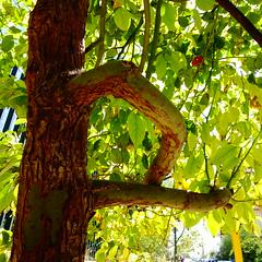 DSC07041 (omirou56) Tags: 11 sonydscwx500 tree nature natur natura greece green ελλαδα ελλασ φυση φυλλα κορμοσ δεντρο σκια outdoor