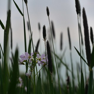 cuckoo flower / lady`s smock