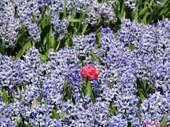Buitenbeentje (Shahrazad26) Tags: bollenstreek bollenvelden nederland holland thenetherlands paysbas hyacinten hyacinths blauw bleu blue blau