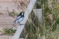 A Bit Shy (Mac ind Óg) Tags: motacillaalba spring beach stcyrusnationalnaturereserve aberdeenshire montrose piedwagtail walking bird stcyrus scotland holiday landscape saintcyrus