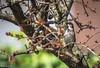 Tra i rami (DiegoGuidone) Tags: canon eos 6d obbiettivo sigma 150600mm f563 dg os hsm c tempo desposizione 1500sec valore dapertura sensibilità iso lunghezza tra rami uccello albero foglie volatile focale focus