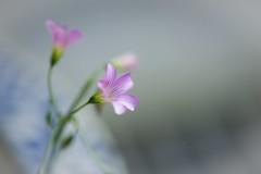 Tiny flowers (Vincent_Ting) Tags: 微距 macro 散景 bokeh field taiwan zeiss100mmf2 vincentting closeup 特寫