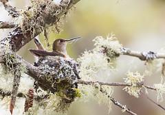 1704_EOS7DMKII-04-162016_01394-Edit-Edit (Peter Bangayan) Tags: hummingbirds smallbirds bird canon eos7d eos7dmkii ef500mmf4lisusm wildlife wild nature nisquallywildliferefuge