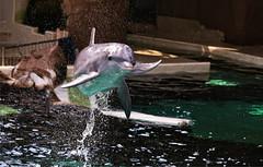 Flying Dolphin (Andy von der Wurm) Tags: dolphin delphin delfin indoor delphinarium säugetier mammal nature animal tier show duisburgerzoo zoo duisburg nrw nordrheinwestfalen northrhinewestfalia germany deutschland allemagne alemania europa europe andyvonderwurm andreasfucke hobbyphotograph