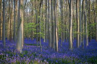 ivy, beech and bluebells