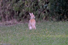 Coniglio _009 (Rolando CRINITI) Tags: coniglio arenzano