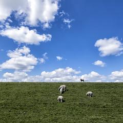 schapen (Jan-Jacob Luijendijk) Tags: carnisse grienden carnisselande barendrecht zuidholland nederland netherlands fuji fujifilm fujinon xt1 1024mm