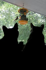 (C. Neil Scott) Tags: westcolumbiasc southcarolina cat gato kitten bird feline buddylove conniechung