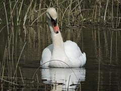 Swan (deannewildsmith) Tags: staffordshire chasewater swan bird