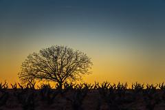 Atardece en la viña (Roberto_48) Tags: puesta sol sunset viña