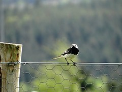 Pied Wagtail (Ian Robin Jackson) Tags: wagtail nature banchory aberdeenshire scotland