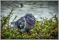All fluffed up..!! (ro-co) Tags: fz200 panasonic pigeons birds birdwatcher wildlife