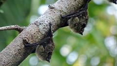 Long-nosed Bat - Rhynchonycteris naso (jaytee27) Tags: costarica longnosedbat rhynchonycterisnaso naturethroughthelens