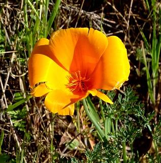 California Poppy--Eschscholzia californica