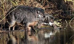 visaya wrattenzwijn blijdorp JN6A6053 (joankok) Tags: blijdorp hog visayawrattenzwijn zwijn wrattenzwijn varken pig mammal zoogdier dier animal asia azie