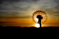 Sunset Dandelion (Late Breaks Devon) Tags: sunset dandelion glow beach coast coastline ocean sea atlantic weed seeds late breaks croyde north devn devon