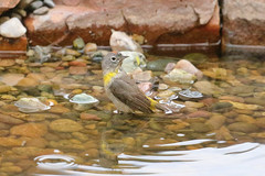 Virginia's Warbler (1256) (Bob Walker (NM)) Tags: bird warbler virginiaswarbler oreothlypisvirginiae viwa bathing losalamos newmexico usa
