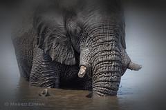 The bath (marko.erman) Tags: namibia africa wild wildlife animal elephant watermud water mud pool etoshanationalpark nature safari travel sony outside