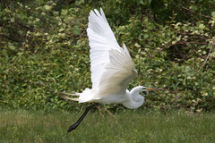 Great Egret 4-30-2017-54 (Scott Alan McClurg) Tags: aalba ardea ardeidae flickr animal back backyard bird bluesky flap flapping flight fly flying greategret land landing life nature naturephotography neighborhood portrait spring suburban urban white wild wildlife