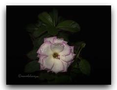 CHOVE  NO  MEU  QUINTAL. (manxelalvarez) Tags: chove chuvia chover llueve lluvia llover rosas lluviayrosas flores flora naturaleza