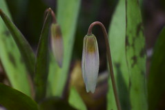 Trout Lilies at Night (FiddleHiker) Tags: minnesotadwarftroutlily nerstrandbigwoodsstatepark endangeredspecies springwildflowers macroflowers supertakumar50mmf14 extensiontube headlamp enchantedforest dof