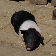 Oxford sandy and black pig, Mary Arden's Farm, Wilmcote (Dave_A_2007) Tags: susscrofadomesticus animal mammal nature pig wildlife wilmcote warwickshire england