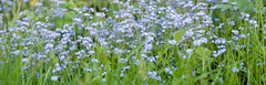 Forget Me Not Patch Panorama 45mpix (mikeyp2000) Tags: flowers blue panorama flower green art forgetmenots